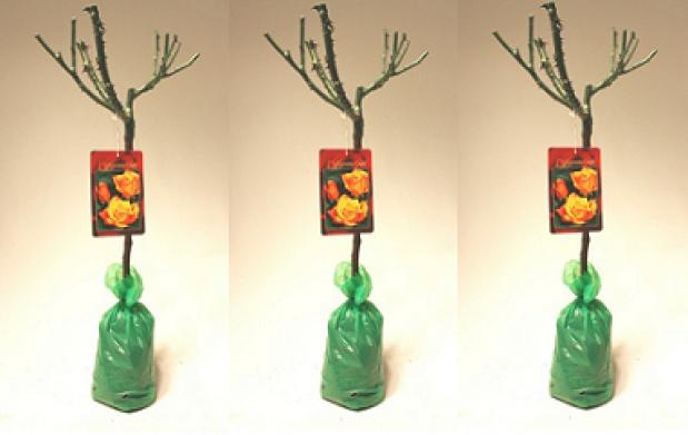 Set 3 Mini Cepas de Rosas